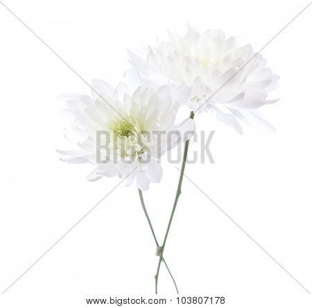 Two white chrysanthemums isolated on white background. focus on bottom flower