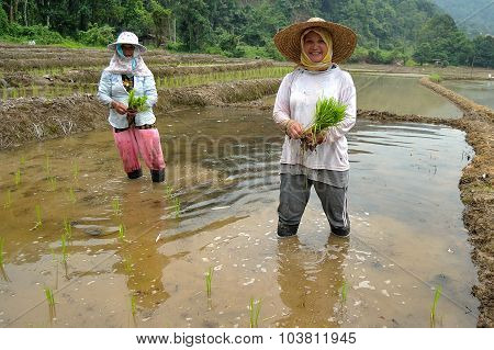 Traditional farmers at paddy field