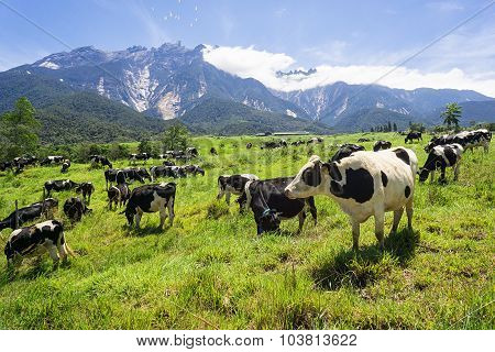 Cow grazing at open land with mountain view