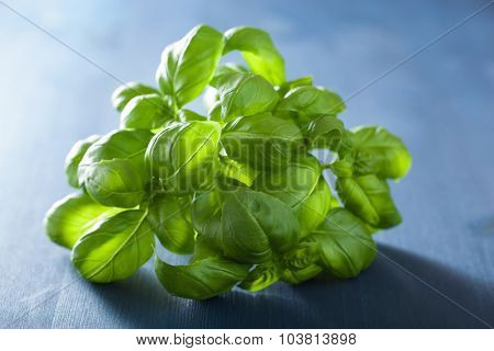 fresh basil leaves herb over blue background