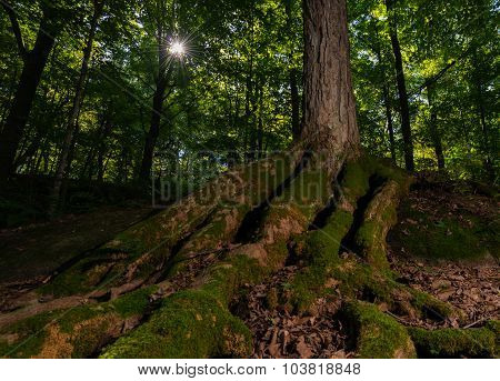 Sunburst In The Forest