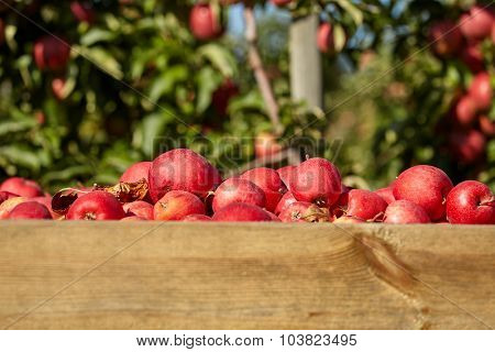 boxes of apples in the orchard