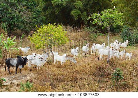 Herd Of Brazilian Beef Cattle Bull - Nellore, White Cow