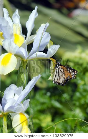 Monarch Buterfly Nectaring From Flower