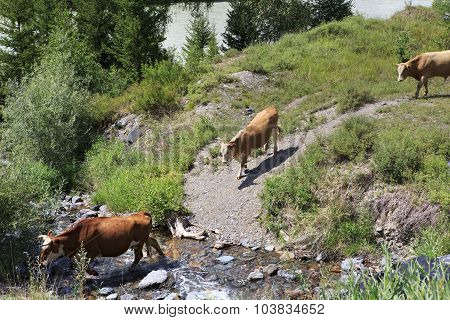 Cows graze near a river in Altai mountains.