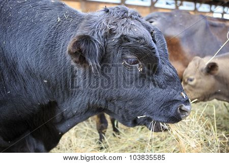 Aberdeen Angus is breed of cattle