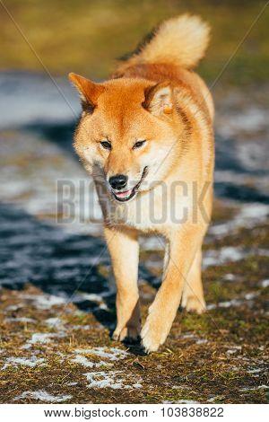 Beautiful Young Red Shiba Inu Dog Running Outdoor In Autumn