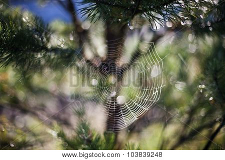 Cobweb On The Branches Of Pine Trees
