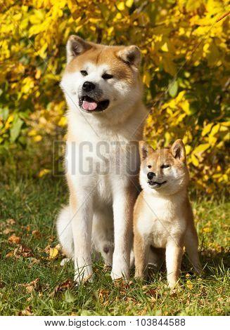 Akita-inu dog and Shiba  dwarf and giant