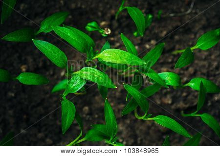 Green Young Sprouts Growing From Soil Background