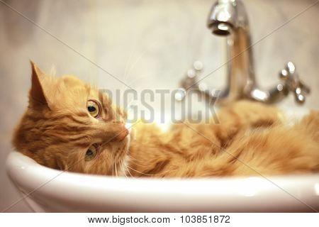 Red cat taking a bath