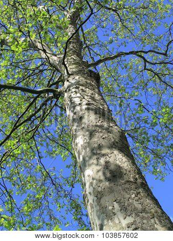 Plane Tree in spring
