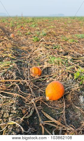 Some Pumpkins Remaining In The Field