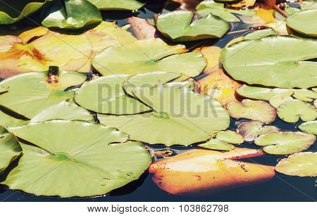 Green Water Lilies In The Dark Water