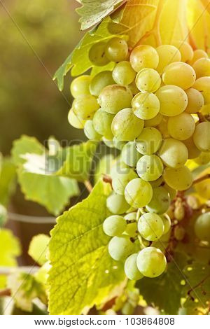 Grape of juicy delicious muscat. Abstract agriculture backgrounds