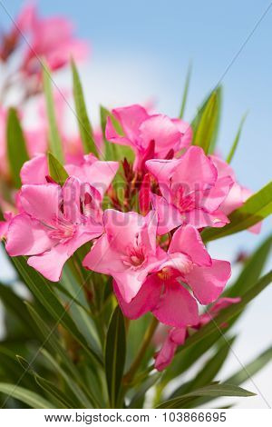 Blossoming Oleander Bush With Pink Flowers Against The Sky
