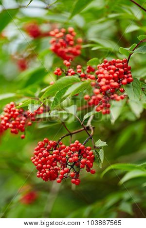 Red Rowan Tree Berries On Branches