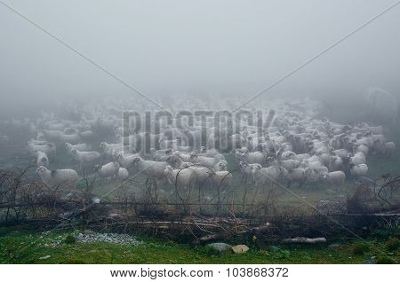 Flock Of Sheep Covered In Fog
