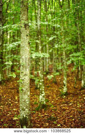 Hornbeam Forest On Summer