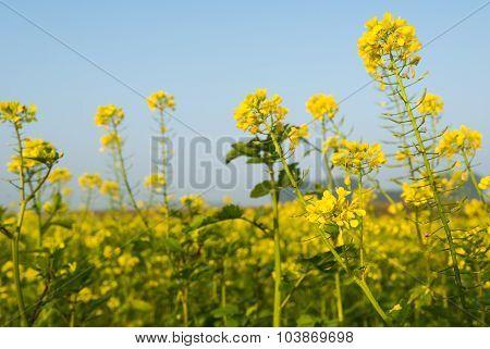 Flowering Rapeseed Against A Blue Sky