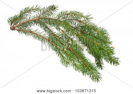 green fir branch isolated on white background