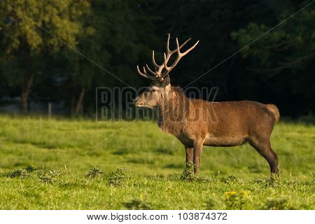 Red deer stag in full size