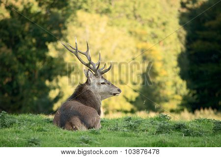 Red deer stag looking out of frame