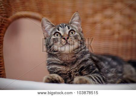 Portrait Of A Striped Domestic Kitten On A Wicker Chair