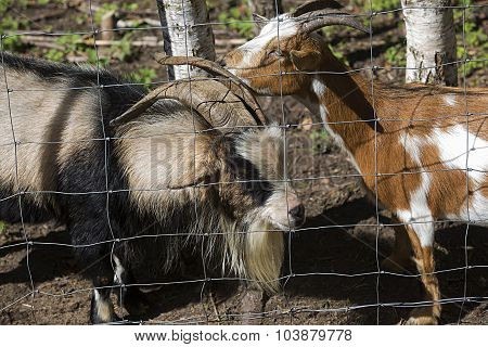 Two Goats Behind Metal Wire