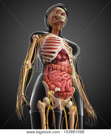 Female Skeleton With Nervous And Digestive System Artwork