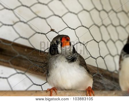 Male Fledgling black-cheeked Zebra Finch