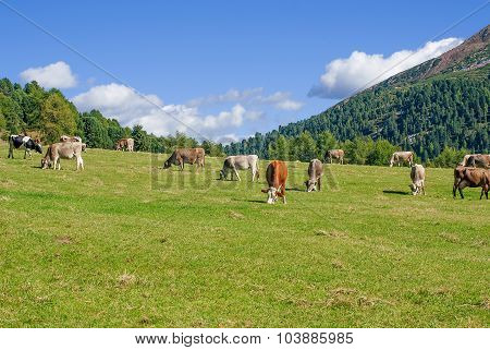 Cows Grazing In Pasture Dolomites