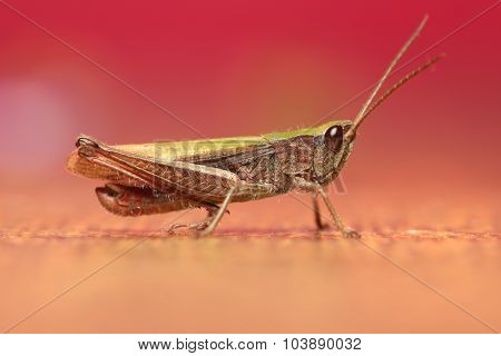 Photo of grasshopper closeup in purple tones
