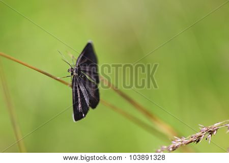 Black butterfly on blade of grass