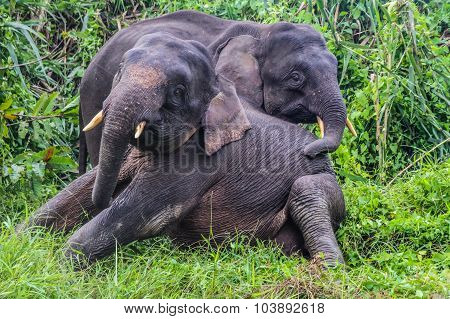 Two Young Elephants In The Jungle-borneo, Malaysia