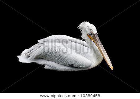 Pelican Over Black