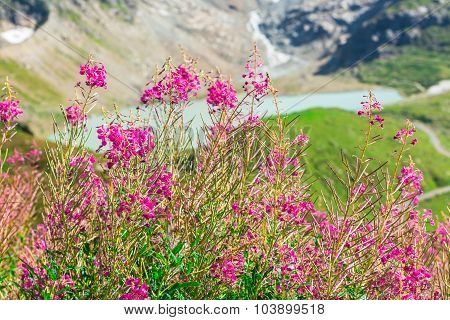 Swiss Alps View With Wild Pink Flowers