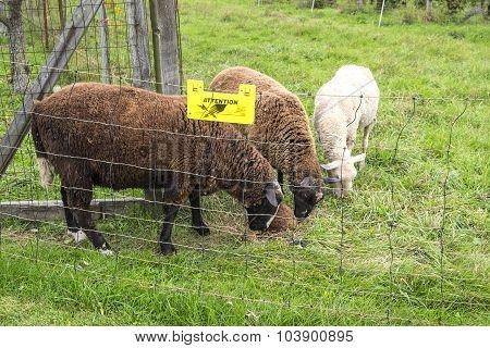 Sheep Grazing in an Organic Vineyard