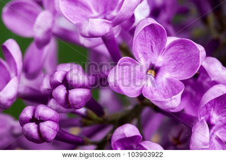 Beautiful spring delicacy lilac flowers.