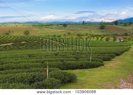 Tea plantation over mountain