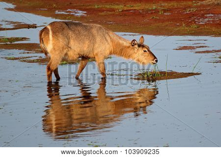 Female Waterbuck (Kobus ellipsiprymnus) feeding in water, Kruger National Park, South Africa