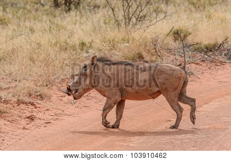 Warthog Crossing Road