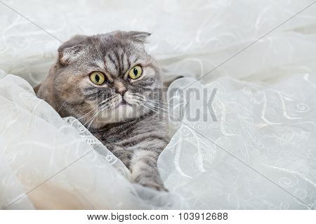 Scottish Fold Lies In White Transparent Curtains.