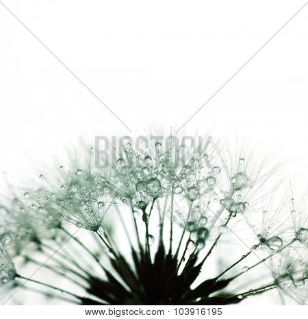 Dandelion with water drops - silhouette on white - super macro shot