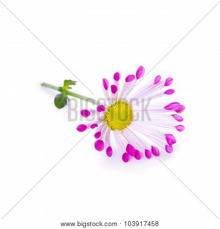Daisy flower isolated.
