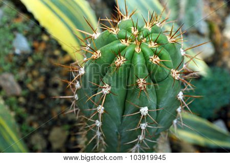 Cactus planted in botanical garden, close-up