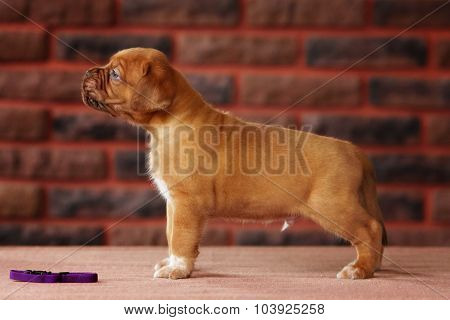 Portrait Bordeaux Puppy Dog Standing In Profile On Red Background