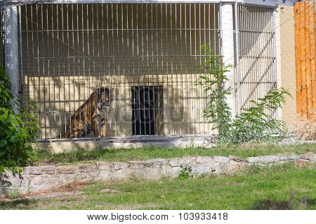 Killer Tiger In Wroclaw Zoo