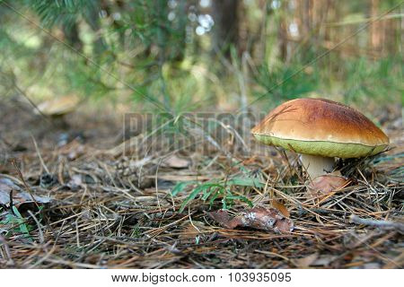 Large White Fungus Grew Up Among The Pine Needles In The Autumn Forest. Edible Mushroom With A Brown