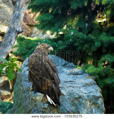 Golden Eagle In A Wildlife
